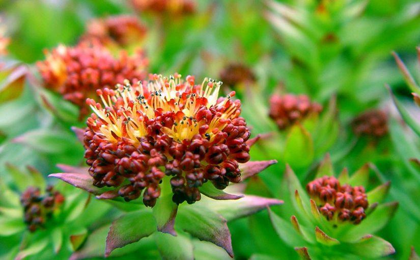 Растения-афродизиаки для женщин